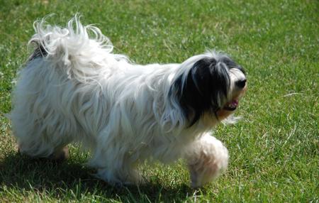 Tibetan Terrier Puppies on Tibetan Terrier Puppies Breeder In Cambridgeshire  Cambs